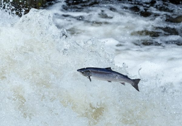 Wild King Salmon jumping out of river – hirez Shutterstock